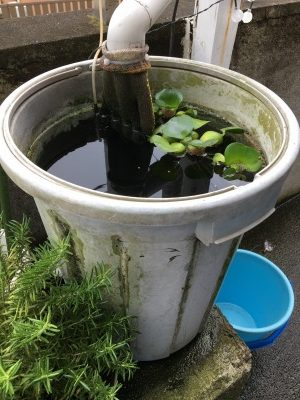自宅で買っている金魚の水槽